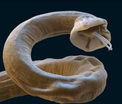 Adult Lungworm - Angiostsrongylus vasorum